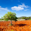 Ibiza mediterranean agriculture with fig tree — Stock Photo