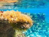Ibiza Formentera underwater anemone seascape — Stock Photo