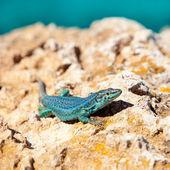 Formentera lizard Podarcis pityusensis formenterae — Stock Photo