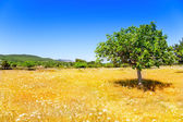 Ibiza agriculture with fig tree and wheat — Stock Photo