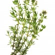 Stock Photo: Thyme - Thymus vulgaris