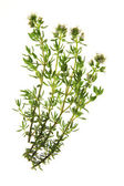 Thyme - Thymus vulgaris — Stock Photo