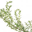Winter savory — Stock Photo