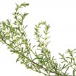 Stock Photo: Winter savory