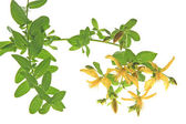 St. John's wort (Hypericum perforatum) — Stock Photo