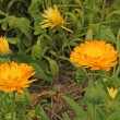 Marigold flowers (Calendula officinalis) — Stock Photo