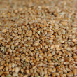 Grains of wheat - Stock Photo