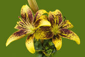 Yellow Dream - Lily Greeting — Stock Photo