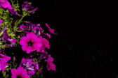 Petunia against a black background — Stock Photo