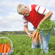 Proud carrot farmer picking fresh carrots in his basket - Stock Photo