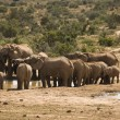 Elephant herd at water hole - Stock Photo
