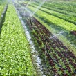 Stock Photo: Organic lettuce being watered on field