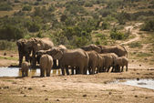 Elephant herd at water hole — Stock Photo