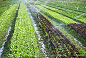 Organic lettuce being watered on the field — Stock Photo