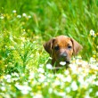 Rhodesian ridgeback puppy in a field — Stock Photo