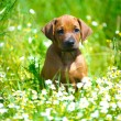 Stock Photo: Rhodesiridgeback puppy in field