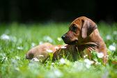 Rhodesian ridgeback puppy outdoors — Stock Photo
