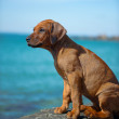 Cute rhodesian ridgeback puppy at the sea - Lizenzfreies Foto