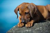 可爱的罗得西亚 ridgeback 小狗在海 — 图库照片