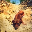 Cute rhodesian ridgeback puppy in Africa on a sand — Stock Photo