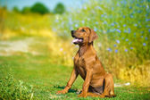 Beautiful rhodesian ridgeback dog puppy in a field — Stock Photo