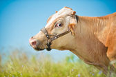 Amused cow in a field — Stock Photo
