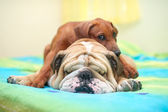 Rhodesian ridgeback puppy and english bulldog on a bed — Stock Photo