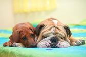 Rhodesian ridgeback puppy and english bulldog on a bed — Stock Photo