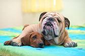 Perro crestado de rodesia y bulldog inglés en una cama — Foto de Stock