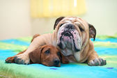 Rhodesian ridgeback puppy and english bulldog on a bed — 图库照片