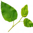 Stock Photo: Green leaves mulberry on white background