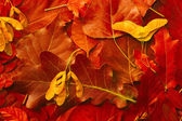 Background is made of autumn red leaves — Stock Photo