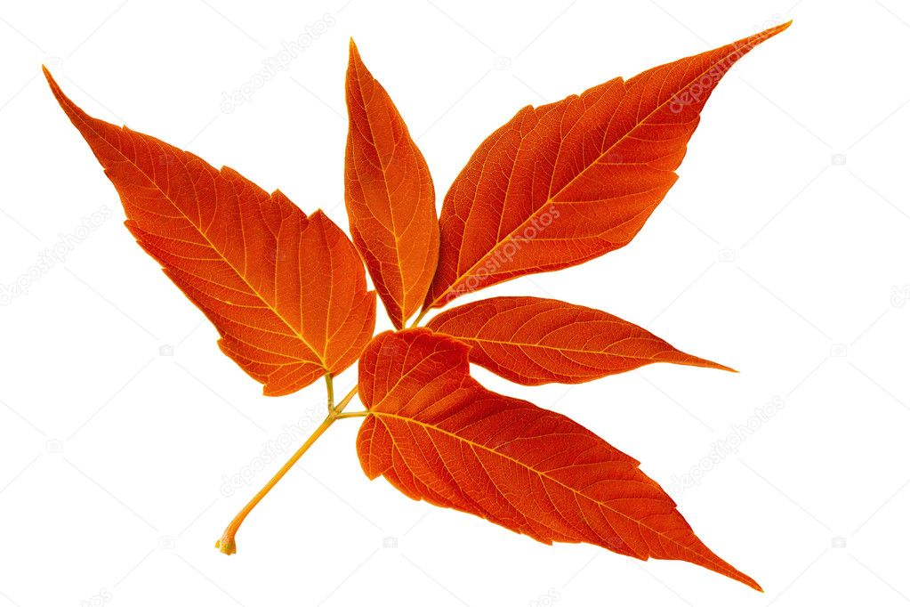 Red autumn leaf maple isolated on white background — Stock Photo #11174036