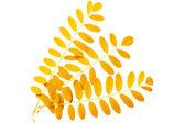 žlutá podzimní listy akátu na bílém pozadí — Stock fotografie