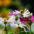 Big beautiful butterfly sits on flower — Stock Photo