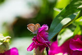 Big beautiful butterfly sits on red flower — Stock Photo