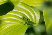 Green grasshopper sits on plant closeup — Stock Photo