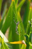 Grosse araignée belle s'assoit sur sa toile — Photo