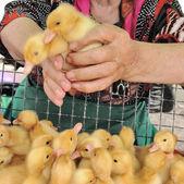 Baby birds of ducklings. — Stock Photo