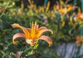 Orange lily with blurred background — Stock Photo
