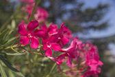 Oleander flowers — Stock Photo
