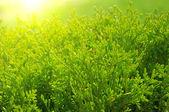 Cypress tree — Stock Photo