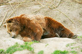 Brown bear cub in bear park of Bern, Switzerland — Stock Photo