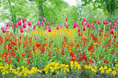 A closeup of tulips, blooming in a garden. Colorful flowers — Stock Photo