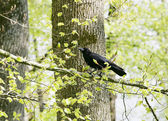 A strutting Black Crow with a peanut. — Stock Photo