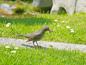 Mother bird hunting for food for the young ones. Song Thrush cat — Stock Photo
