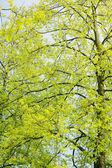 Beautiful green leaves of an American Yellow Wood make pattern b — Stock Photo