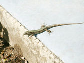 Lounging lizard sunning itself on the park — Stock Photo