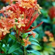 Orange flowers (Asoka, Saraca Asoca ) — Stock Photo