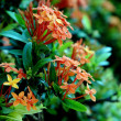 Orange flowers (Asoka, Saraca Asoca ) — Stock Photo #11488619